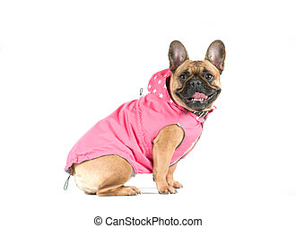 French bull dog profile portrait in studio in dress