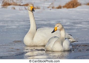 Two swans on the frozen lake - Whooper swan Cygnus Cycnus...