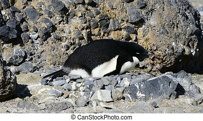 Adelie Penguin on the nest in Antarctica