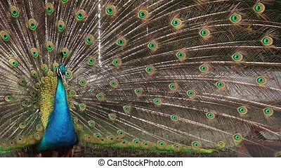 Beautify Peacock - Peacock displaying his colorful feathered...