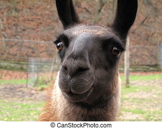 Confused Llama - Funny shot of confused or surprised llama...
