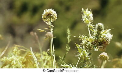 Thistle in alpine meadow - Camera on steadicam of Thistle