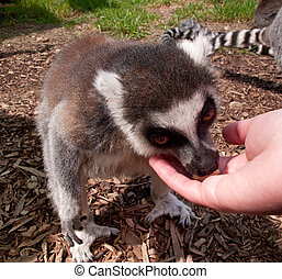 Lemur eating out of hand - Ring tailed lemur eating food out...