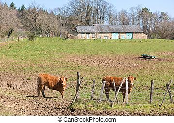 French Limousin cows - Brown French Limousin cows in...
