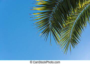 The leaves of the palm tree against the blue sky - Yellowing...