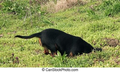 Dog hunting moles - Small black female dog hunting for moles...
