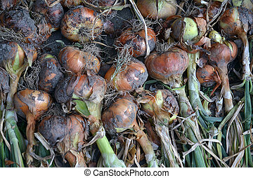 fresh planted organic onion - Picture of a fresh planted...