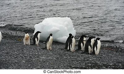 Adelie Penguins walk on the beach