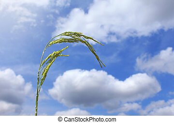 Rice with blue sky