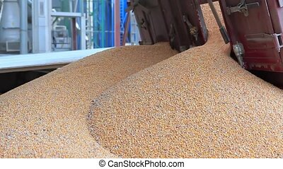Unloading Corn into the Grain Silo - Corn Unloading into the...