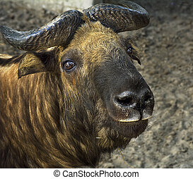 closeup of head takin-mismi at the zoo