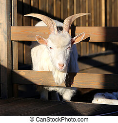 Photo beautiful goat - Great photo white goat on a farm...