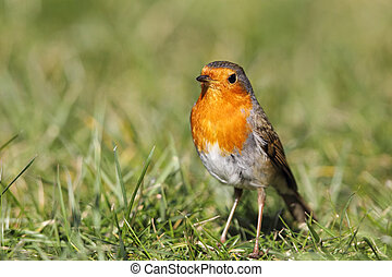 European Robin Erithacus rubecula sitting on the lawn in the...