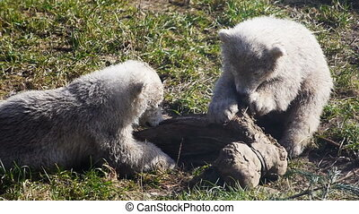 Baby polar bears playing - New-born baby polar bears playing...