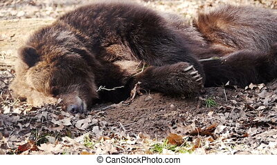 Black bear sleeping - Close-up of black bear sleeping and...