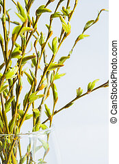 Green pussy-willow bouquet in glass vase. Palm Sunday.