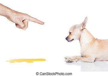dog pee - chihuahua dog being punished for urinate or pee at...