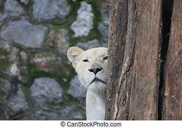 White Lioness Looks Hidden Behind the Tree - One White...