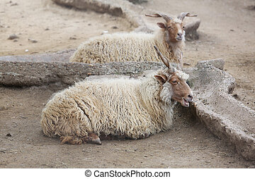 Two Wild White Goat Ibex seating on Ground - Two Wild White...