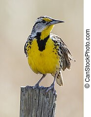 Eastern Meadowlark Perched on a Fence Post - Florida -...