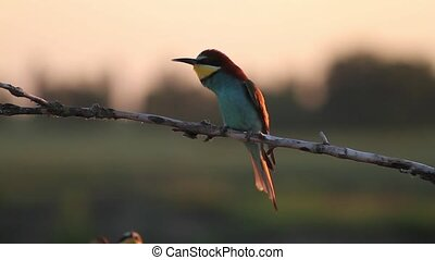 Bee eaters couple in the rays of the sun, birds of paradise