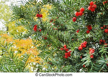 Christmas yew (taxus baccata) with red berries