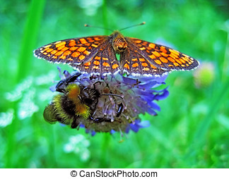 butterfly and bumblebee - On a blue flower the bumblebee and...