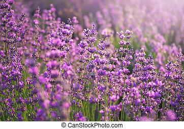Lavender meadow - Lavender closeup. Composition of nature.