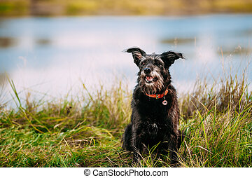 Black Hunting Dog Small Size Black Dog In Grass Near River, Lake