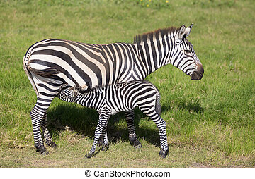 Mother nursing foal zebra, Equus quagga. - Mother nursing...