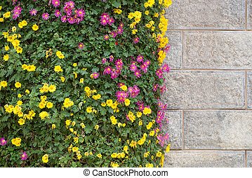 chrysanthemum flowers in front of a wall