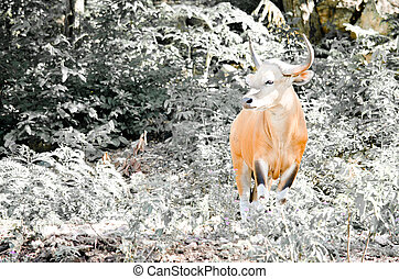 Male Banteng - Banteng was in Red List of Threatened Species...
