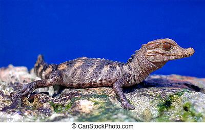 Crocodile baby lying on the rocks