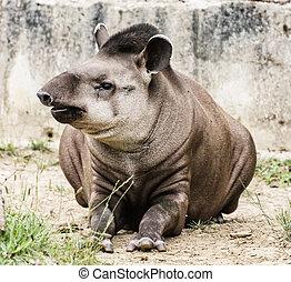 South American tapir - Tapirus terrestris ndash; beauty in...