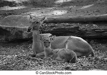 Elds deer Panolia eldii also known as the thamin or...