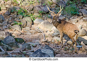 Eld's deer (Panolia eldii) also known as the thamin or...