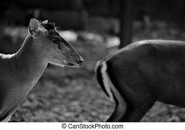 fea muntjac is deer - The Fea's Muntjac or Tenasserim...