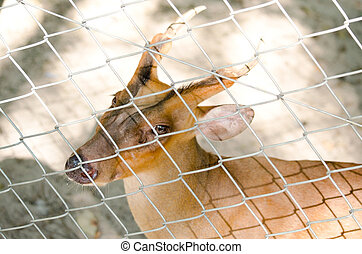 fea muntjac is deer - The Fea's Muntjac or Tenasserim...