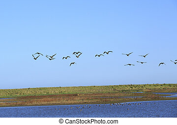 A flock of geese in flight - a flock of geese flying over a...