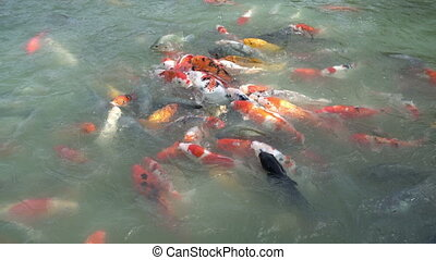 Tropic fish close up shot. - Flock of tropic orange fish on...