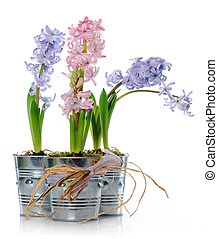Hyacinths - Pots with hyacinths on white background