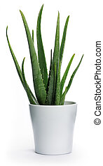 Aloe vera - Pot with aloe vera on white background