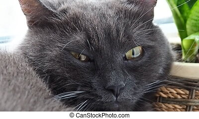 Fluffy gray cat close up - Fluffy gray cat lounge close up...