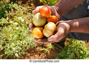 Man Farmer In Tomato Field Showing Vegetables To Camera