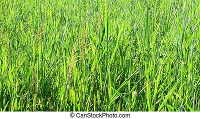 Natural background with lush green grass filling the frame