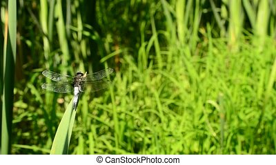 Dragonfly sitting on grass - Dragonfly close up sitting on...