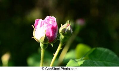 Pink rose bud on blurred background - Closeup of a pink rose...
