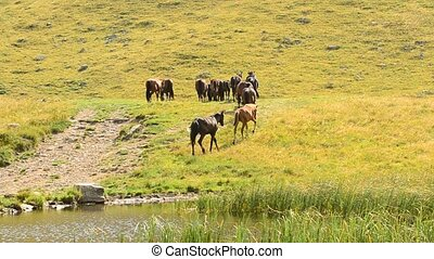 Herd of horses on a pasture in mountains - A small herd of...