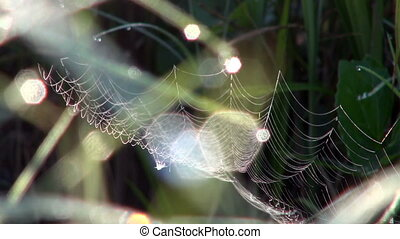 Cobweb on Aquatic Plants in Drops of Dew - Cobweb on Aquatic...