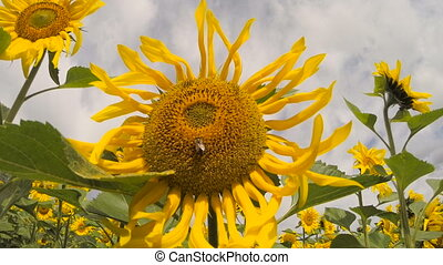 Big Beautiful Flower of a Sunflower Against The Sky
